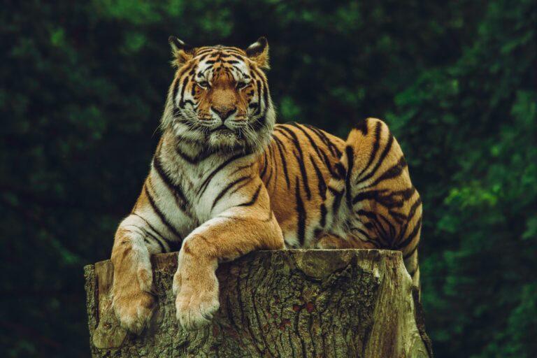 Bengal tiger relaxing