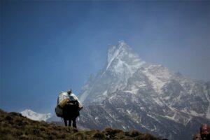 A horse on the Mardi Himal Trek